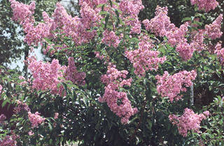 Crape myrtle near SH9 and 24th.