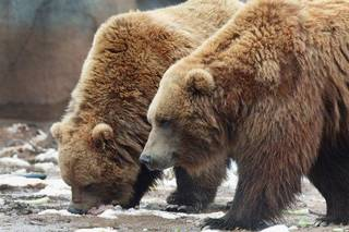 Grizzly bears Wil and Wiley step out of their enclosure in the Oklahoma Trails exhibit at the Oklahoma City Zoo. David McDaniel - THE OKLAHOMAN