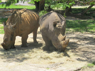 A pair of rhinoceros graze in Disney World's Animal Kingdom theme park, which has more than 500 acres of land and is represented by more than 250 species. Richard Hall