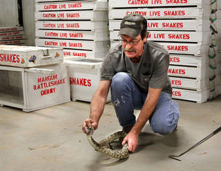 Keith Kendall handles one of the rattlesnakes to be on display this weekend at Mangum's annual Rattlesnake Derby in southwest Oklahoma. Kendall is fangmaster for this year's event. Visitors can get close views of hundreds of live snakes and learn about rattlesnakes as well as join the experts on hunting safaris. Samples of snake meat will be available for tasting. The festival, held in the downtown square near the county courthouse, runs Friday through Sunday and includes a carnival and flea market. Photo taken Monday, April 22, 2013. Photo by Jim Beckel, The Oklahoman. Jim Beckel - THE OKLAHOMAN