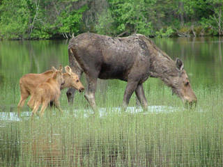 Personal encounters with moose are coveted experiences in the Rangeley Lakes area of Maine. Photo courtesy of Malissa Parker-Lea, Dreamstime.com.