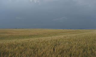 A wheat field in Canadian County, Oklahoma. Experts say 2014 could be one of the poorest wheat harvests in decades in Oklahoma. Photo provided