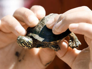 A turtle found in Lions Park in Norman.