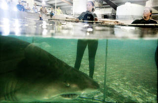 Penny Regier blocks a shark with a net device as she works to move sharks into their new display Wednesday at the Oklahoma Aquarium in Jenks. AP PHOTO
