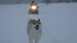 "One of Gennady Soloviev's dogs leads the way in Werner Herzog's ""Happy People: A Year in the Taiga."" PHOTO PROVIDED"