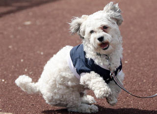 Hank eyes his favorite toy as he walks near the Milwaukee Brewers dugout, prior to a home spring training game at Maryvale Baseball Park in Phoenix, Wednesday, March 5, 2014.(Photo/Roy Dabner) ORG XMIT: RD182