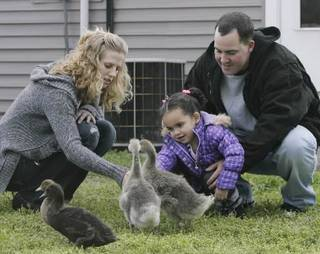"Dusten Brown, his wife Robin Brown and his daughter Veronica Capobianco, 3, spend time with their pet goslings at their home in Nowata, Okla., taken on April 11, 2013. Brown's ex-girlfriend gave his daughter up for adoption more than three years ago to a white couple in South Carolina, but as a member of the Cherokee Nation, Brown successfully overturned the adoption and won custody of ""Baby Veronica"" based on a federal law that prohibits the adoption of Indian children outside of the tribe without the tribe's consent. JAMES GIBBARD/Tulsa World"