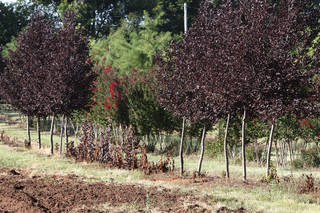 These are some of the colorful trees on Paul B. Odom III's wholesale tree farm. PAUL HELLSTERN -