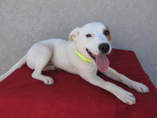 Petey, a 9-month-old Labrador mix, is a sweet and playful puppy who likes to toss dog toys into the air and chase them. His Oklahoma City Animal Shelter number is 140637, and his adoption fee is $50. This fee includes spay or neuter, shots and health check. The shelter is at 2811 SE 29. For more information, go online to www.okc.petfinder.com or www.okc.gov.