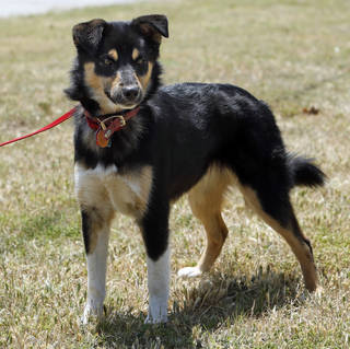 Buster is a 1-year-old sheltie mix available for adoption at Norman Animal Welfare, 3428 S Jenkins Ave. He is neutered, current on shots and tests, and has an identifying microchip implant. Fee is $60. For more information, call 292-9736. PHOTO BY STEVE SISNEY, THE OKLAHOMAN STEVE SISNEY -