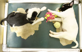Mixed breed puppies wait to be adopted Thursday at the Oklahoma City Animal Welfare Center.