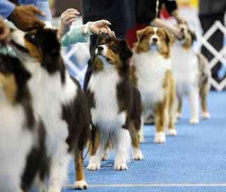 Australian shepherds wait in the judging ring Wednesday during the OKC Summer Classic Dog Shows at the Cox Convention Center in downtown Oklahoma City. The dog shows continue through Sunday. Photo by Nate Billings, The Oklahoman NATE BILLINGS - NATE BILLINGS