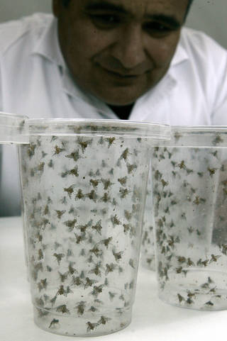 An expert observes fruit flies trapped in jars at the Agrarian Health Services in Lima, Peru, in 2006. [AP File Photo]