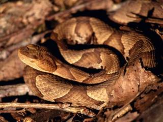 Copperheads are among the snakes found in Oklahoma. (Provided)
