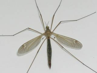 Crane flies, incorrectly known as ?mosquito hawks,? are large, brown flies with long legs that are abundant at this time of year.