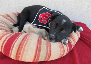 Bucket, a cute and friendly 8-week-old Doberman-Labrador mix, has a brother, James, and sister, Trixie, and they are available for adoption at the Oklahoma City Animal Shelter. As part of a Valentine's Day special, all adoptions made Saturday will include a microchip, identification tag and a Valentine's gift bag. From Saturday through Feb. 16, the adoption fee for dogs is only $25. The fee includes spay or neuter, shots and health check. The shelter is at 2811 SE 29. For more information, go to www.okc.petfinder.com or www.okc.gov. PHOTO PROVIDED