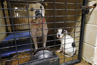 A mother and pup share a compartment at Norman Animal Welfare at 3428 S Jenkins Ave. The welfare center currently is under construction, causing conditions to be a little cramped and chaotic, officials say. Photo by Steve Sisney, The Oklahoman