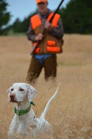 "An English Pointer ""gets birdy"" on a hunt for bobwhite quail in western Oklahoma. Quail season opens Saturday in Oklahoma. Photo by Wade Free"