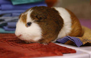 Theo is an owner-surrendered, 3-year-old male guinea pig available for adoption at Norman Animal Welfare, 3428 S Jenkins. Fee is $15. For more information, call 292-9736. PHOTO BY STEVE SISNEY, THE OKLAHOMAN STEVE SISNEY -