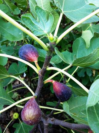Fresh figs grow locally. PHOTO BY SHERREL JONES, THE OKLAHOMAN SHERREL JONES - THE OKLAHOMAN