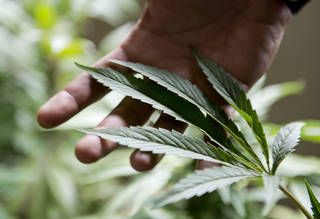 FILE - In this Dec. 9, 2013 file photo, marijuana grower Marcelo Vazquez checks the leaves of his plants for fungus, on the outskirts of Montevideo, Uruguay. A marijuana growing club is taking steps to be the first officially recognized in Uruguay, where lawmakers have made their country the world's first national marketplace for legal pot. The Association of Cannabis Studies of Uruguay began the process by registering with the Education and Culture ministry, Drug Control Chief Julio Calzada said on Tuesday, June 24, 2014. (AP Photo/Matilde Campodonico, File)