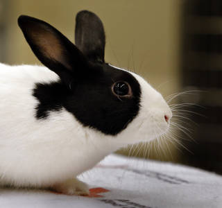 Honey is an adult, female rabbit available for adoption at Norman Animal Welfare, 3428 South Jenkins. The fee is $15. For more information, call 292-9736. PHOTO BY STEVE SISNEY, THE OKLAHOMAN STEVE SISNEY -