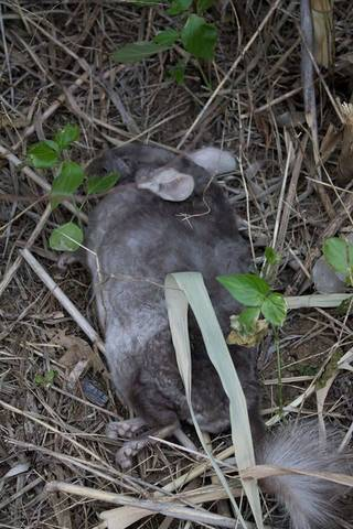 Photo of a dead chinchilla taken from the G.W. Zoological Park's public Facebook page. Park employees said they photographed the dead rodent after an unknown man abandoned another chinchilla in the zoo's gift shop. Photo provided