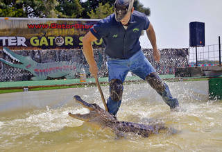 """Alligator handler Jeff Quattrocchi comes too close to the male gator as it snaps at him during """"The Swampmaster"""" gator show during the 2013 Oklahoma State Fair on Monday, Sep. 16, 2013. Photo by Chris Landsberger, The Oklahoman"""