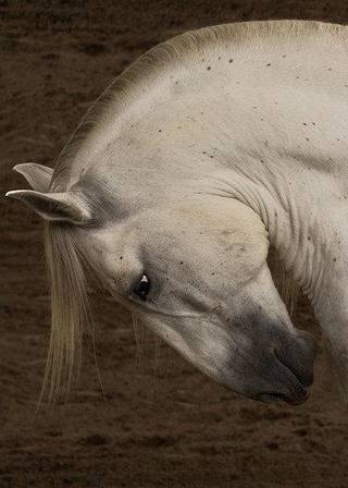 This photograph of a Peruvian horse is featured in a new exhibit opening Friday at MAINSITE Contemporary Art in downtown Norman. PHOTO PROVIDED