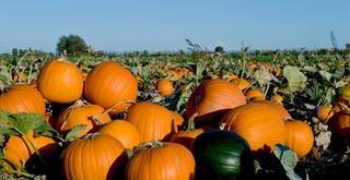 Pumpkins are ripening earlier than normal in some parts of the state. File Photo