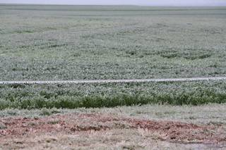 Ice is shown on a wheat field Wednesday northeast of Cordell. Photo provided