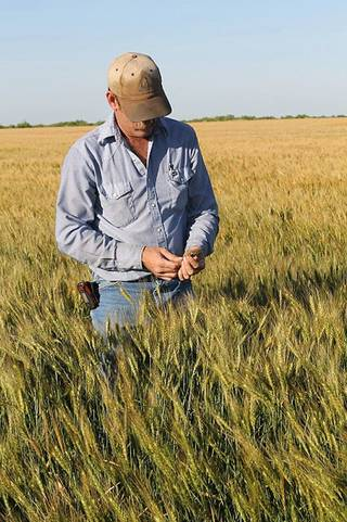 After very tough drought conditions late into 2011, Terral Tatum of Grandfield this week looks through his wheat. Tatum said it has a lot of promise with this year's wheat harvest likely less than a month away for him. PROVIDED - Christy Tatum