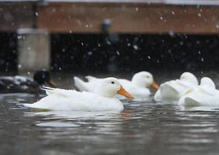 The snow and cold air doesn't seem to bother these ducks at Hafer Park in Edmond, OK, Friday, Jan. 29, 2010. By Paul Hellstern, The Oklahoman