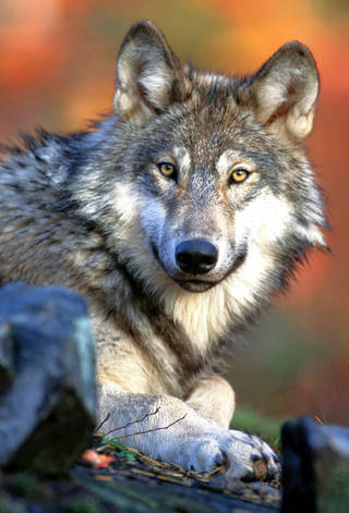 A gray wolf in the wild is shown. AP PHOTO
