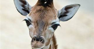 Baby giraffe Martin stands in the enclosure at the Opel Zoo, near Frankfurt, Germany, May 28, 2014. (AP Photo/dpa, Boris Roessler)