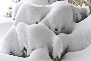 Snow piled up on plant outside a home on Tuesday, Feb. 2, 2011, Oklahoma City, Okla. Photo by Chris Landsberger