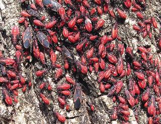 The boxelder bug is found mostly on female (seed-bearing) boxelder trees. The Oklahoman Archives. RICK ROBINSON