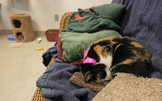 Patches (A106264), a female cat, rests in a cat adoption room at the Oklahoma City Animal Shelter this month. NATE BILLINGS - The Oklahoman