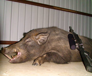 This feral hog weighing 558 pounds was killed last month by Sulphur firefighter Landon Wood on a hunt at the Pennington Creek Hunting Club ranch near Mill Creek. (Photo provided)