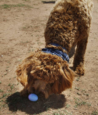 Cooper, a Goldendoodle belonging to Linda Yingling, of Oklahoma City, attempts to open an Easter egg at the annual Edmond Hound Hunt, an Easter egg hunt for dogs. PHOTO BY K.T. KING, THE OKLAHOMAN KT King -