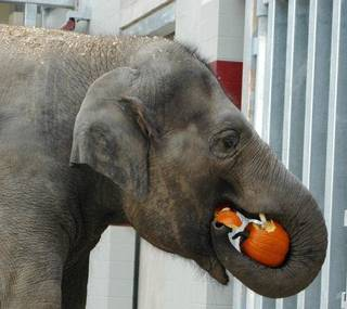 Chandra eats a pumpkin in the new elephant barn at the Oklahoma City Zoo on Oct. 18, 2010. The elephants sometimes receive treats like pumpkins that are mentally stimulating as well as tasty. <strong>Jennifer D'Agostino - PHOTO PROVIDED BY THE OKLAHOMA C</strong>