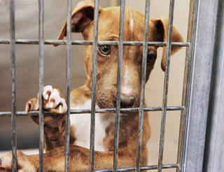 A 2-year-old male pit bull mix named Zeus peeks out of his cage Monday at the Oklahoma City animal shelter. The city is hoping a new program to spay and neuter dogs in Del City will significantly decrease the number of dogs brought to the shelter. Photo by Jim Beckel, The Oklahoman