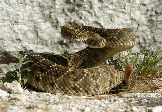 A rattlesnake poised to strike. STAFF PHOTO BY PAUL HELLSTERN, THE OKLAHOMAN ARCHIVES PAUL HELLSTERN