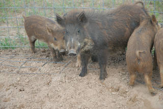 A file photo shows these wild pigs that were caught near Leedey. PHOTO PROVIDED BY THE OKLAHOMA DEPARTMENT OF AGRICULTURE, FOOD AND FORESTRY ORG XMIT: 1110010049055499 PROVIDED