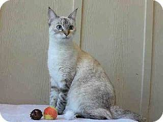 Aphrodite is a beautiful Siamese mix who likes attention on her terms. She has lots of spunk and does not care to be held for long periods. Aphrodite is 6 years old and weighs about 7 pounds. She is at the Edmond Animal Welfare Shelter.