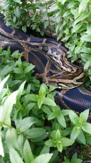 A Burmese python is seen in the backyard of a home in Toppers in Wagoner County near Fort Gibson Lake. Photo provided