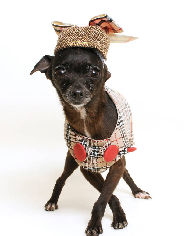 photo - Chihuahua Barnes wears her myfavoritecouture.com lightweight wool Burberry-inspired vest with matching Banana Republic herring bone patterned wool and ribbon pillbox hat created by Anastasia Torres-Gil. (Portia Shao/www.PositiveVista.com/MCT)