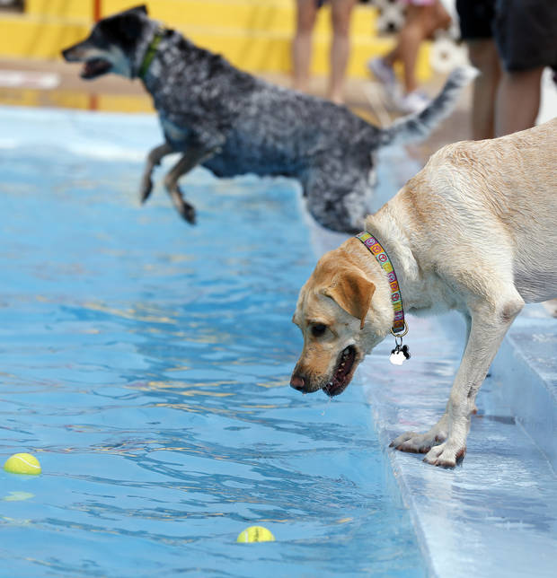 Essence, a Labrador retriever, considers getting into the water to retrieve a tennis ball during the annual dog pool party at Westwood Water Park in Norman on Aug. 23, 2015. Photo by Nate Billings, The Oklahoman