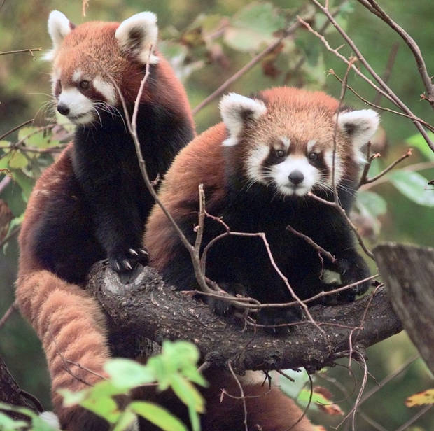 A red panda & her young cub perch on a tree in their habitat at the Oklahoma City Zoo. The mom is the one on the left.