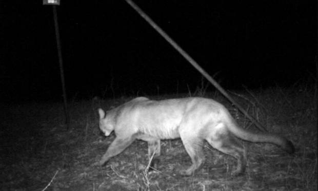 photo - This mountain lion was captured on Ryan Ritter's trail camera near Atoka in southeastern Oklahoma. PHOTO PROVIDED